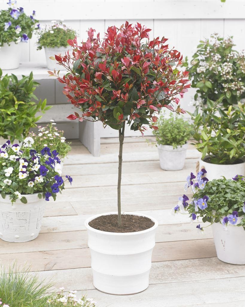 Pair of evergreen photinia little red robin trees 120cm for Specimen evergreen trees small