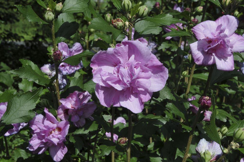 Hibiscus Syriacus Ardens Rose Of Sharon