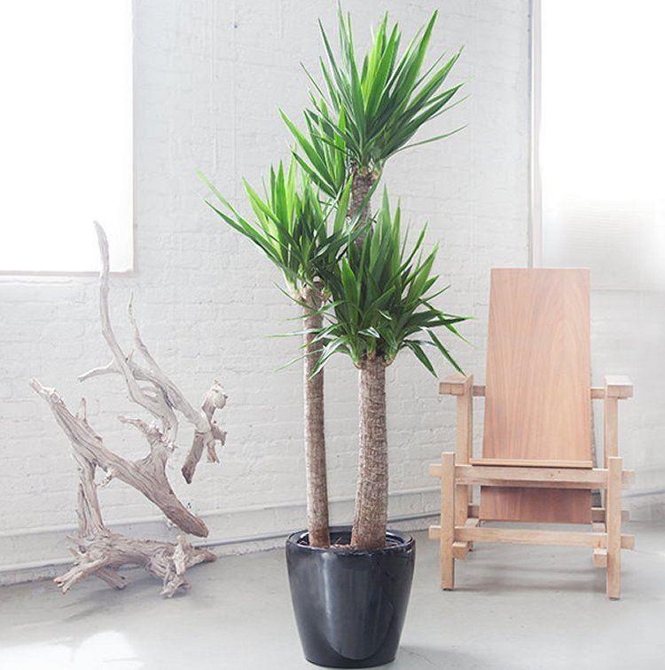 Häufig Yucca elephantipes - Large Specimen Indoor Yucca Tree - 130 EK24
