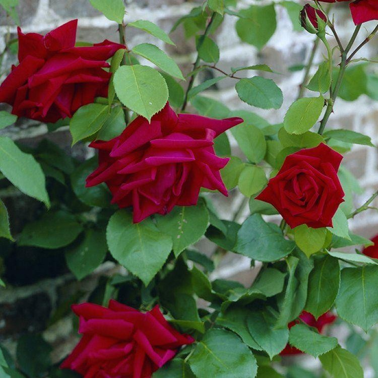 how to grow rose plant in india