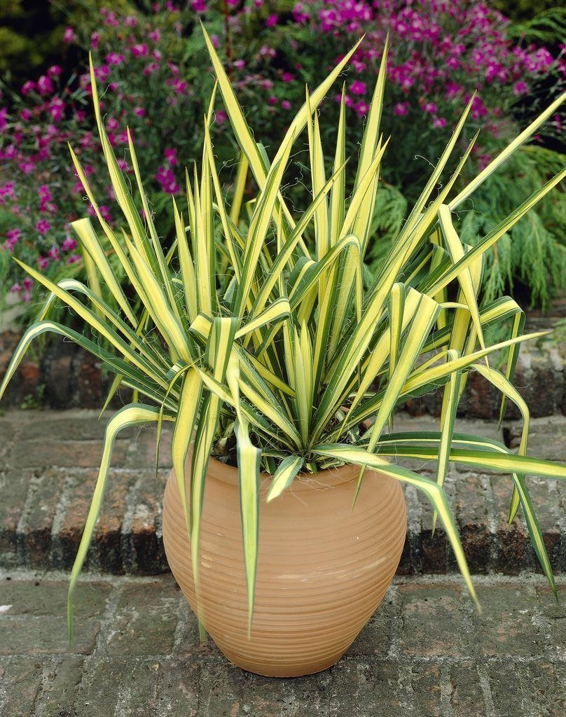 751A7AA32F5B9F903BB491041CE7CC74_1 Variegated House Plants Dark Green And White on white shade plants, pink variegated spider plants, variegated euonymus plants, yellow and green plants,