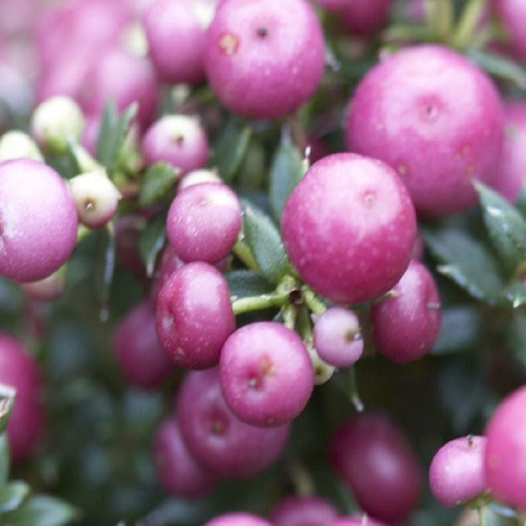 Pernettya Berries.Pernettya Mucronata Rosy Pink Evergreen Prickly Heath Berry Plants Garden Plants