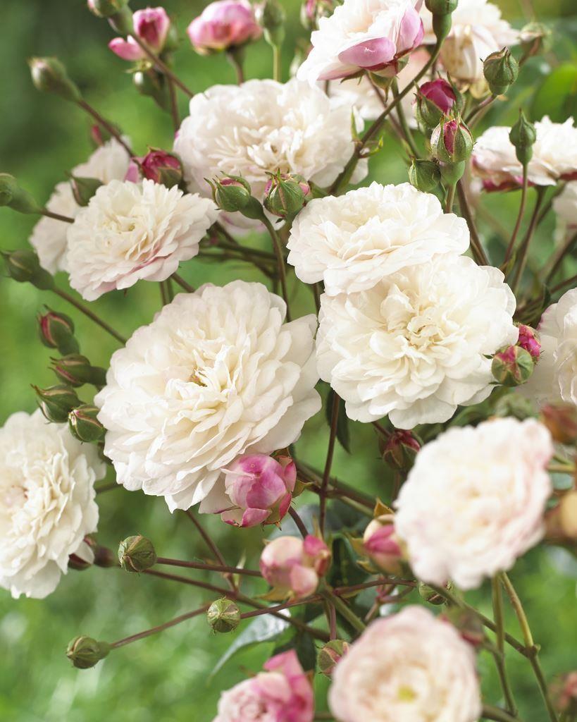Rose Little White Pet Shrub Rose
