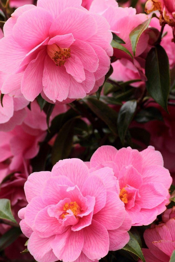 winter sale - camellia spring festival - pink blooming evergreen