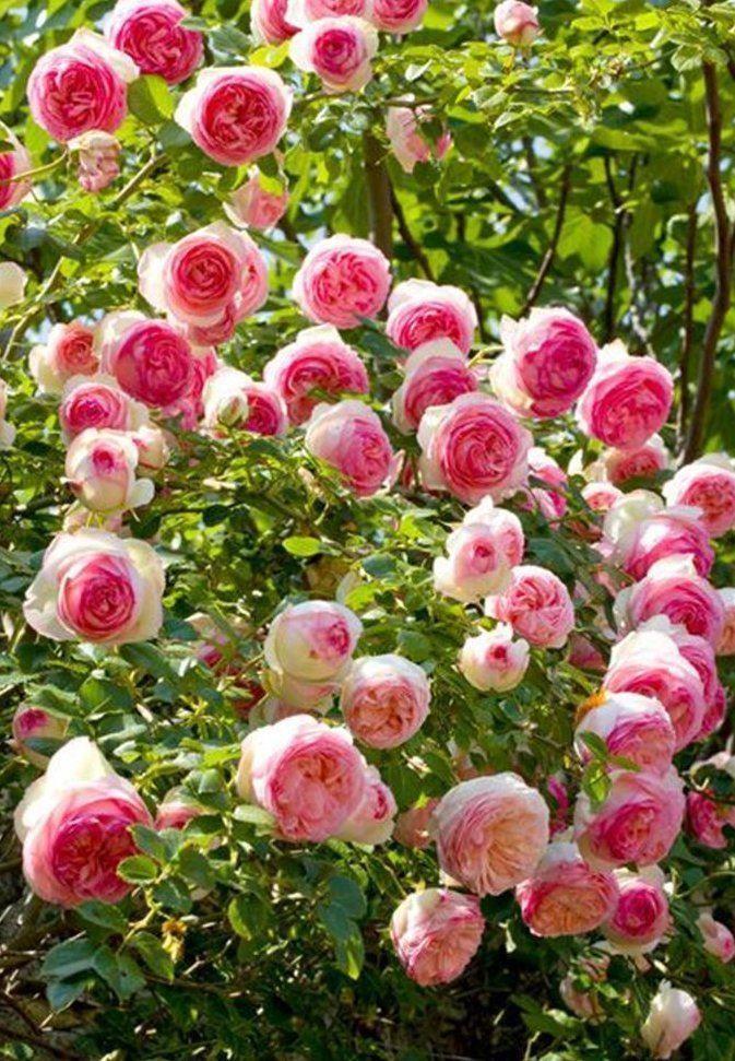 Rose Pierre De Ronsard Climbing Rose