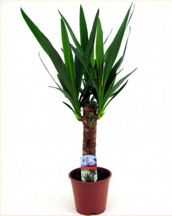 Indoor Yucca Tree Perfect To Brighten Up The Home