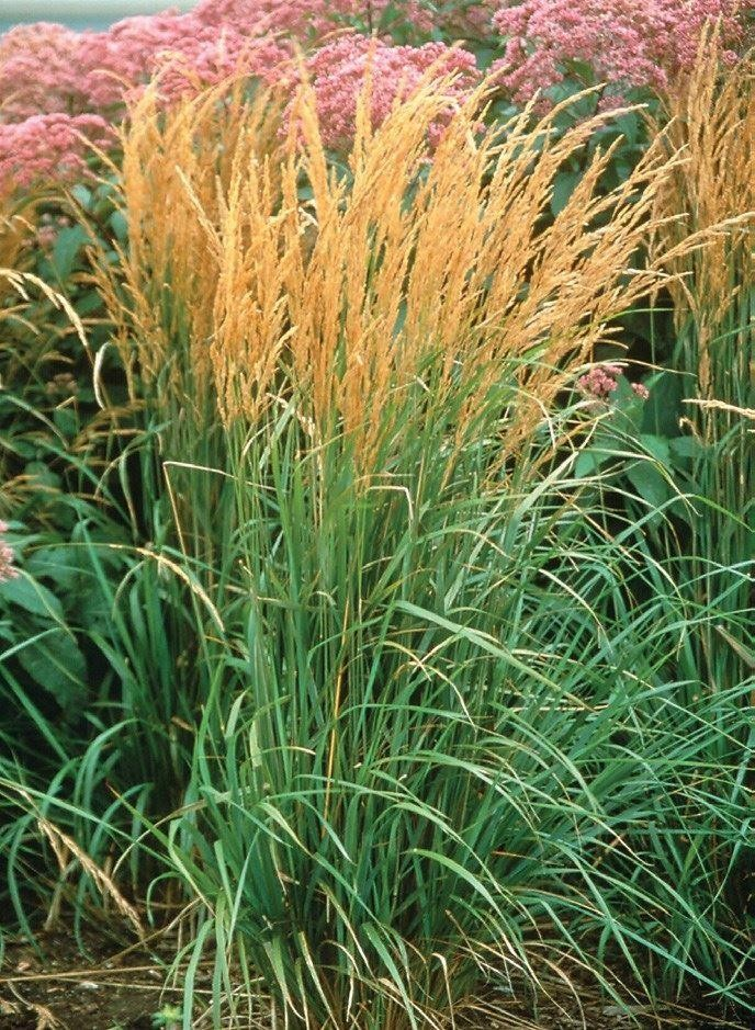 Picture of Live Feather Reed Grass aka Calamagrostis 'Karl Foerster' Plant Fit 1 Gallon Pot