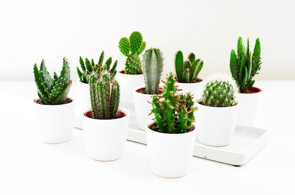 Cactus plant collection pack of 12 plants in assorted for Garden trees b q