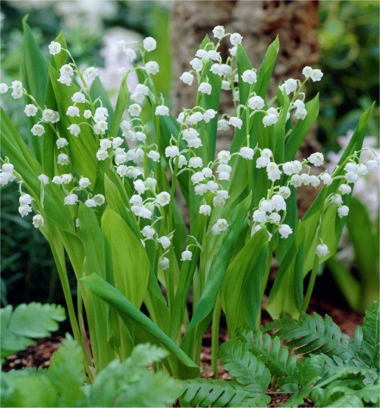 Bulk Pack Lily Of The Valley Convallaria Majalis Pack Of 10 Plants