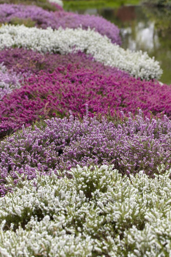 Special deal heather collection pack of 12 winter hardy special deal heather collection pack of 12 winter hardy evergreen plants in bud mightylinksfo