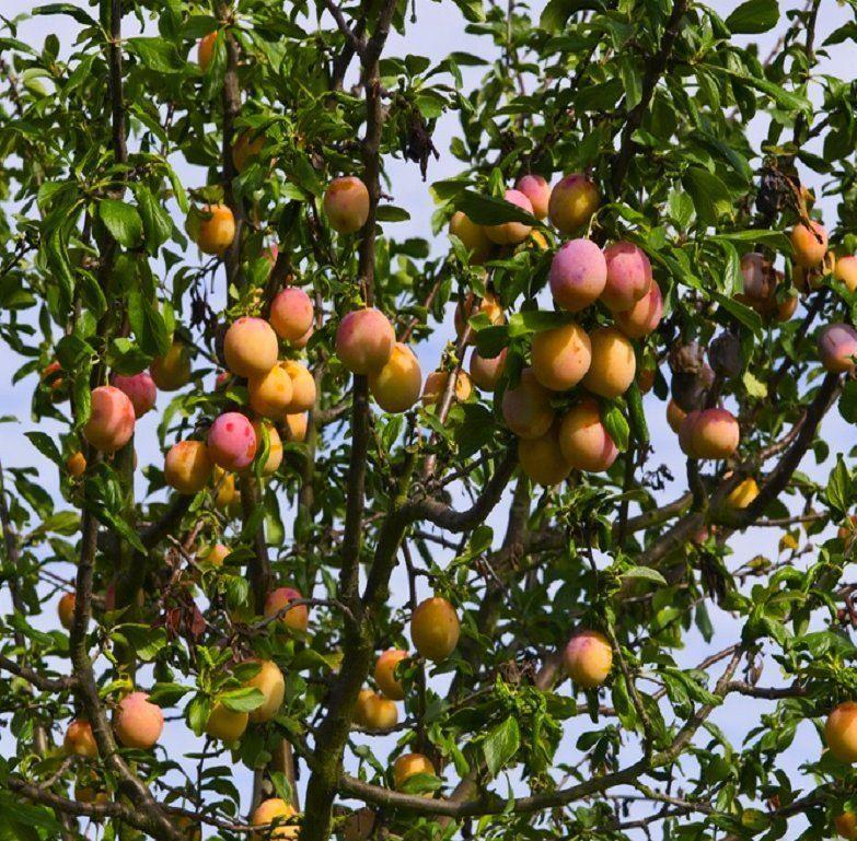 Plum tree multi variety fruit tree plum 5 varieties on one tree - Graft plum tree tips ...