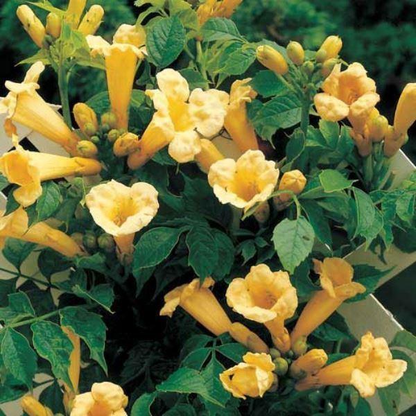 Campsis Radicans Flava Yellow Trumpet Vine