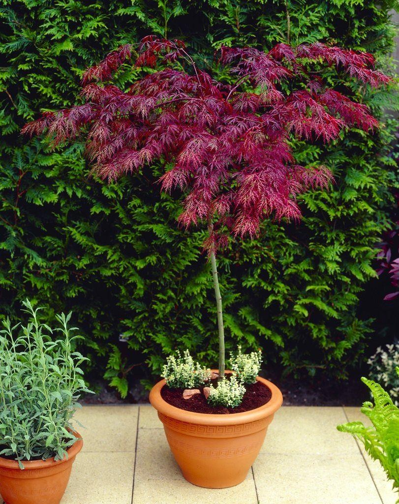 6cce4077e7a Large 100cm Standard Acer Japanese Maple Tree - Garnet