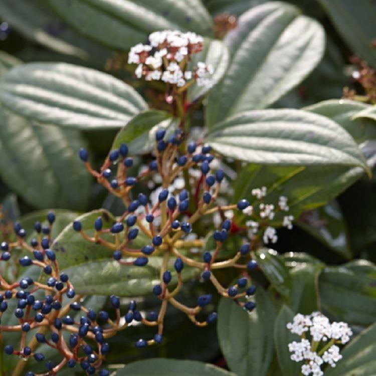 viburnum davidii evergreen viburnum
