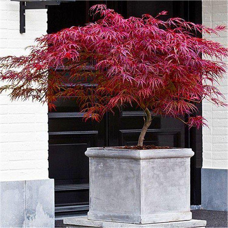 Acer Palmatum Dissectum Firecracker Japanese Maple