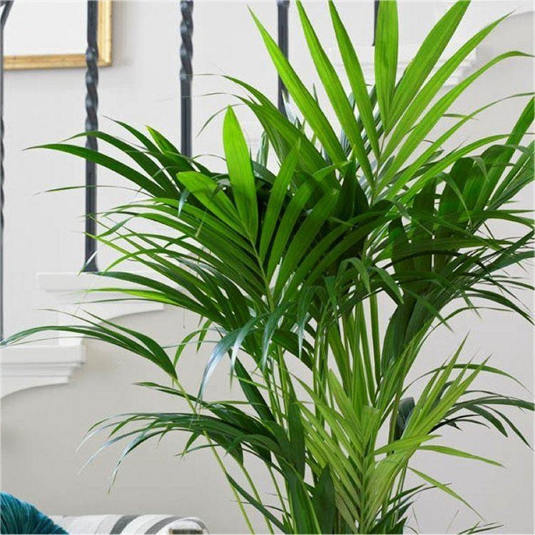 Howea forsteriana - KENTIA PALM - The best palm for ...