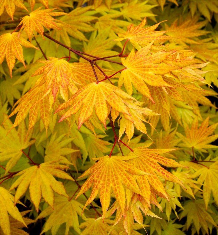 Acer Shirasawanum Autumn Moon Rare Japanese Full Moon Maple