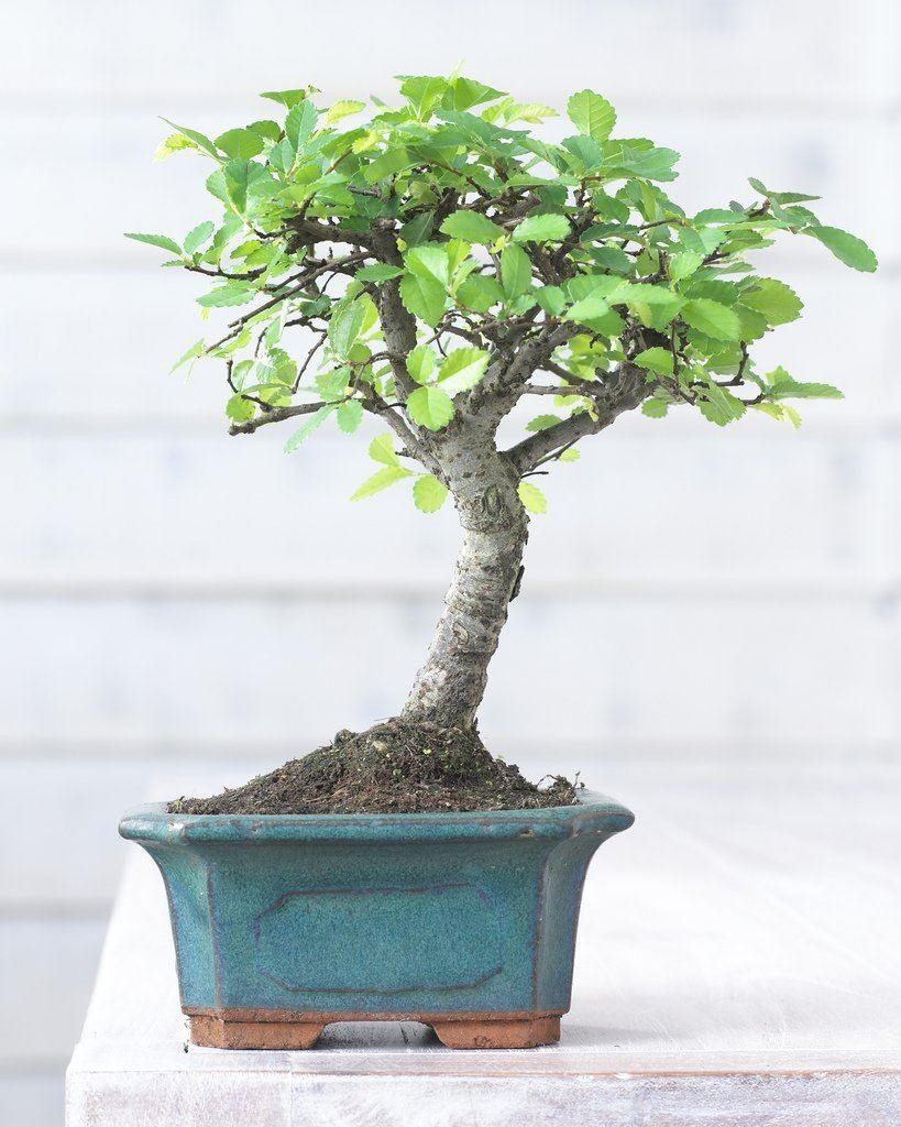 beautiful bonsai tree with glazed dish and saucer