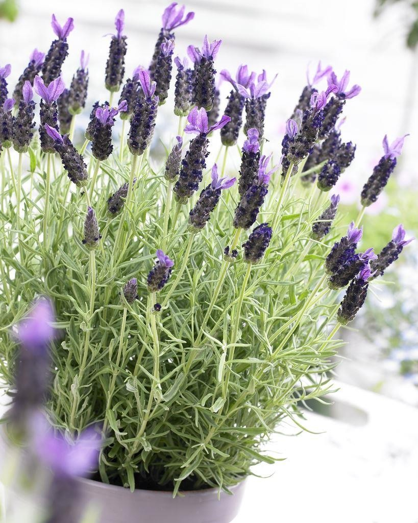 Lavender - Lavender stoechas Midnight Purple - Pack of SIX Plants ...