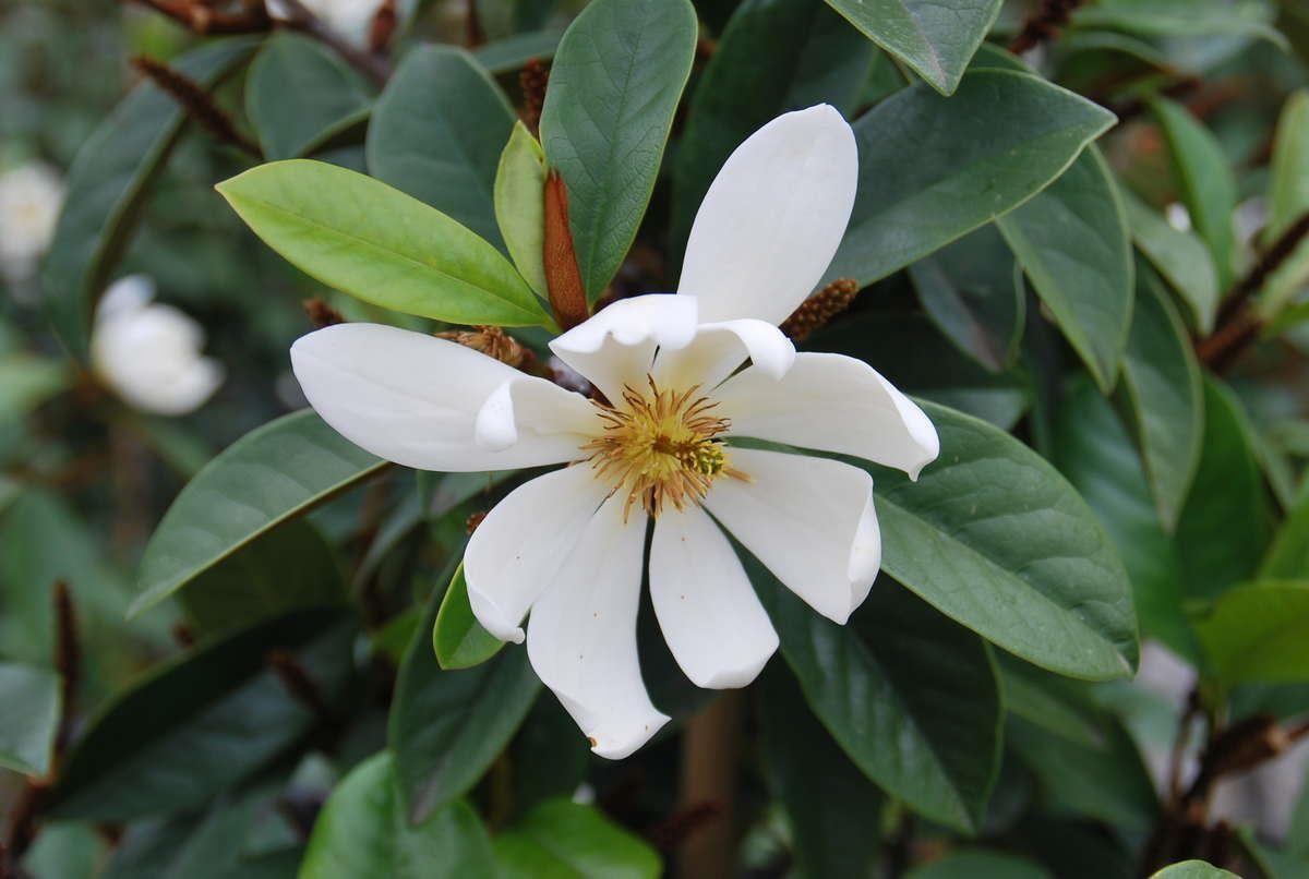 Michelia Magnolia Fairy White New Fragrant White Evergreen Magnolia