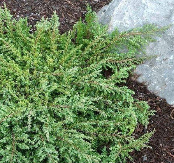 LARGE Juniperus Communis Repanda 'Green Carpet