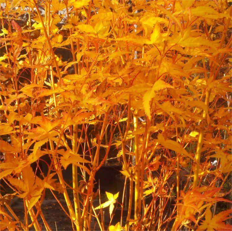 Acer Palmatum Bihou Bi Ho Golden Bark Japanese Maple Bi Hoo