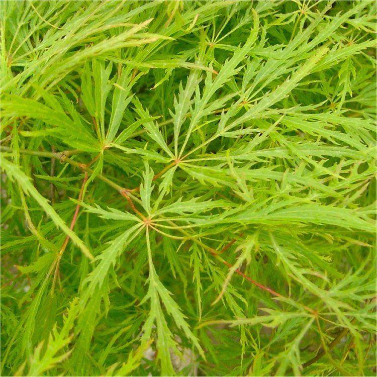 Acer Palmatum Dissectum Filigree Japanese Maple