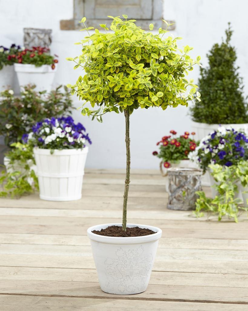 Pair Of Euonymus Emerald Gold Golden Evergreen Standard Topiary Trees Garden Plants