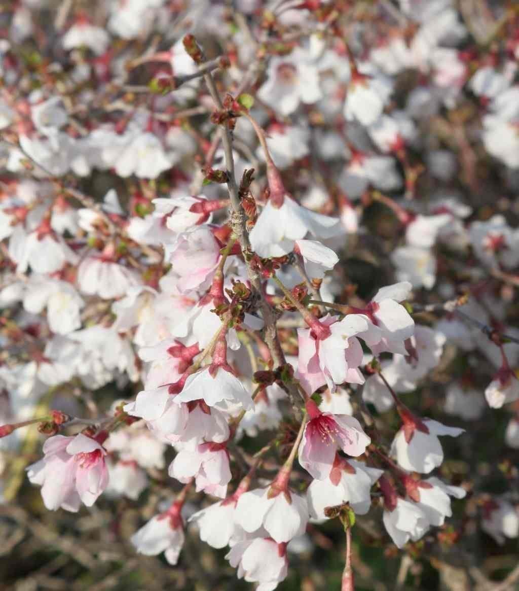 Prunus Incisa Kojo No Mai Fuji Cherry Garden Plants