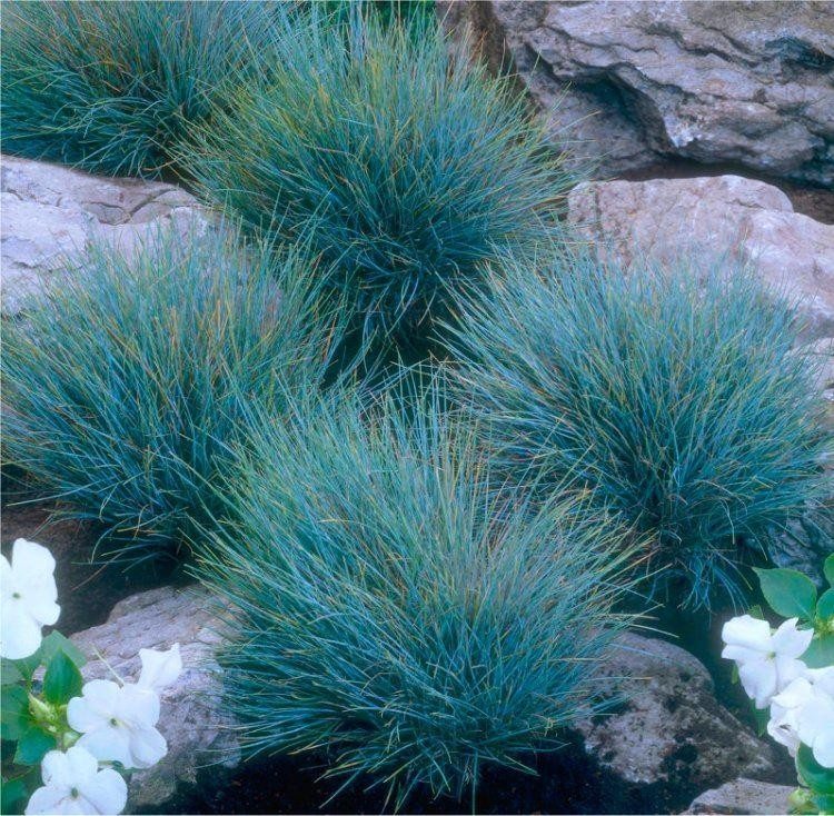 Festuca glauca elijah blue fescue pack of three for Ornamental grass with blue flowers