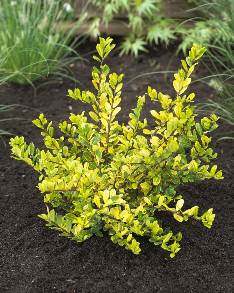 Special Deal Ilex Crenata Golden Gem