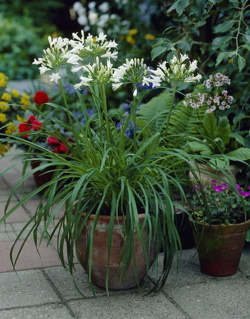 Agapanthus Albus Silver Lining White Lily Of The Nile Plants