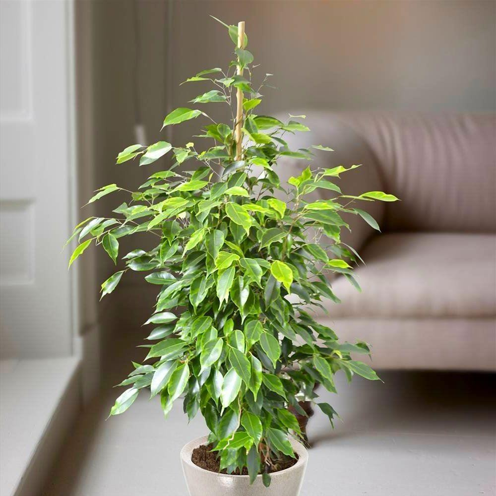 ficus benjamina anastasia weeping fig tree house plant. Black Bedroom Furniture Sets. Home Design Ideas