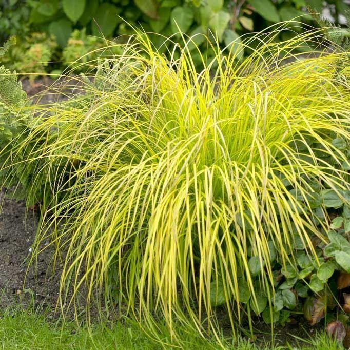 carex elata aurea bowles golden grass