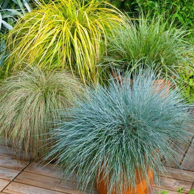 Gorgeous grass pack of 10 amazing ornamental grasses for Tall grass plants