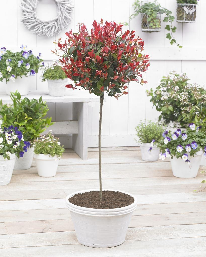 pair of evergreen photinia little red robin trees 120cm specimen trees. Black Bedroom Furniture Sets. Home Design Ideas