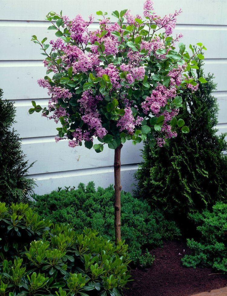 Special deal dwarf korean lilac tree syringa palibin for Nice small trees