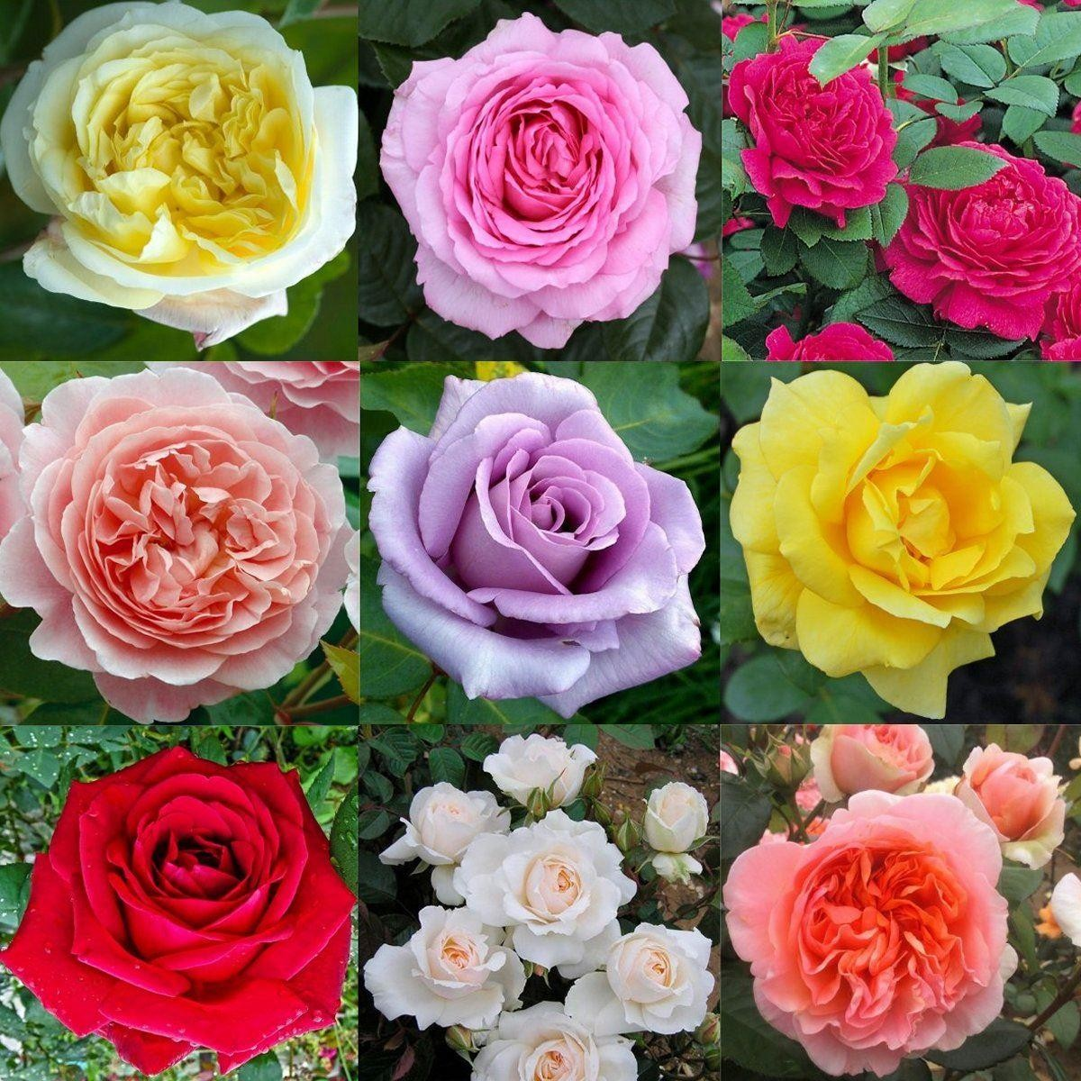 Superior SPECIAL DEAL   Luxury Garden Roses   Premier Collection   Pack Of SIX  Different Bush Roses
