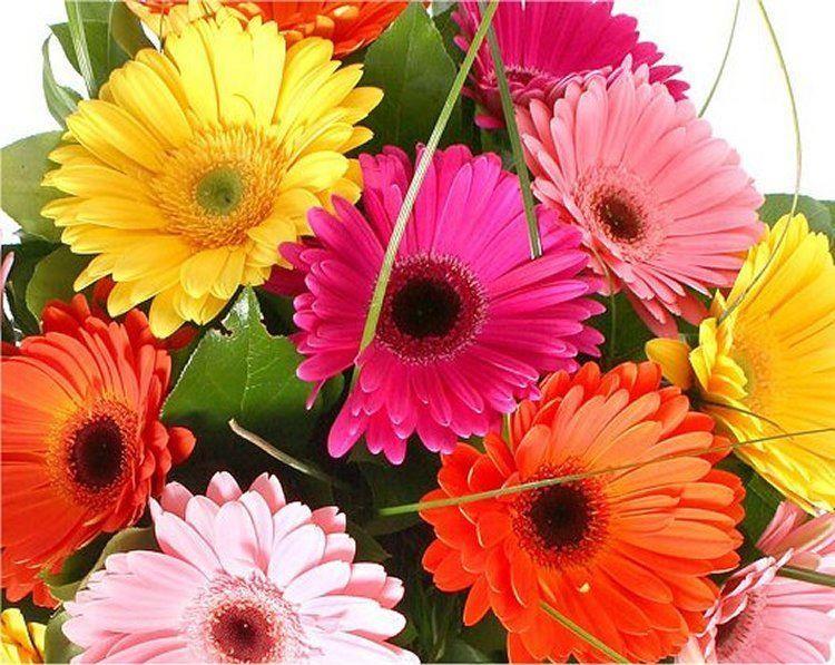 Gerbera Plants Selection Of Three Beautiful Hardy Gerberas With