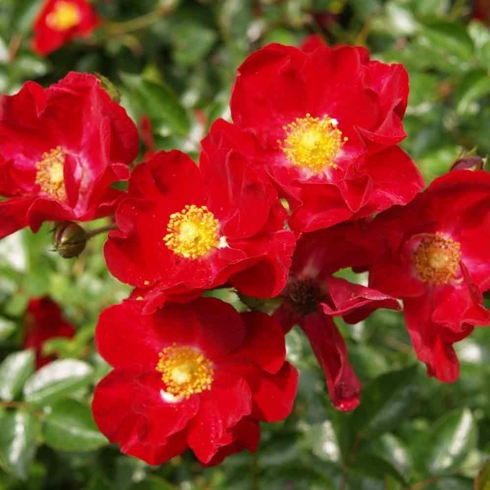 Rose Flower: Rose Flower Carpet Red Velvet