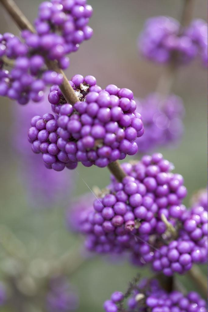 callicarpa bodinieri profusion beauty berry. Black Bedroom Furniture Sets. Home Design Ideas