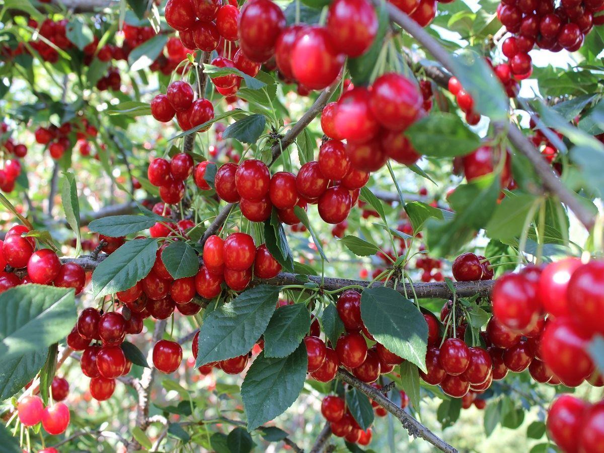 varieties of fruit trees