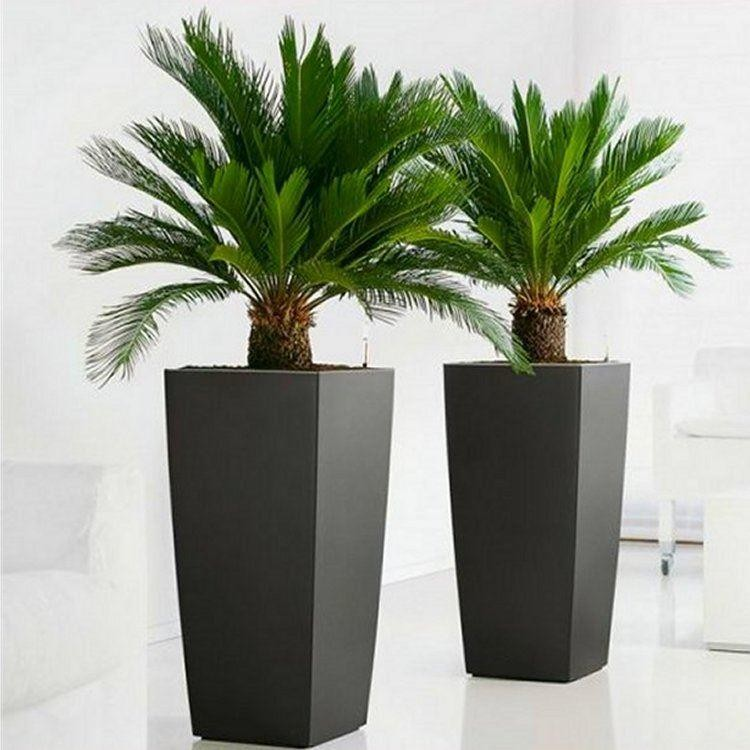 how to grow sago palms