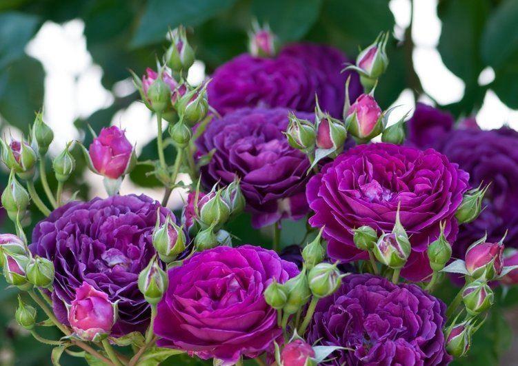 Rose Ebb Tide Floribunda Rose