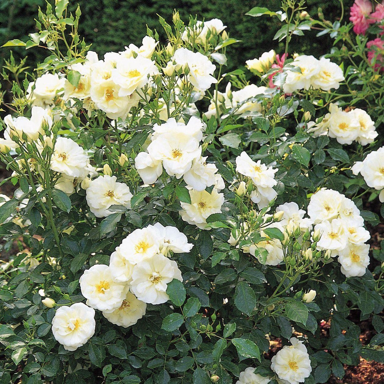 Rose flower carpet white mightylinksfo Image collections