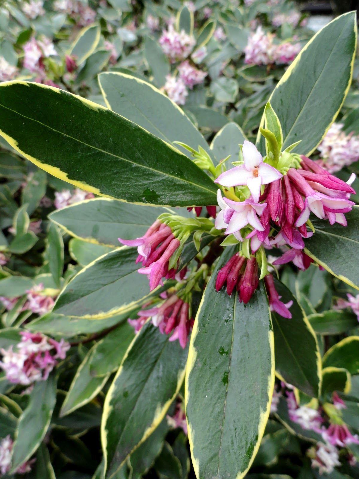 Daphne odora aureomarginata fragrant hardy evergreen shrub - Hardy office plants ...