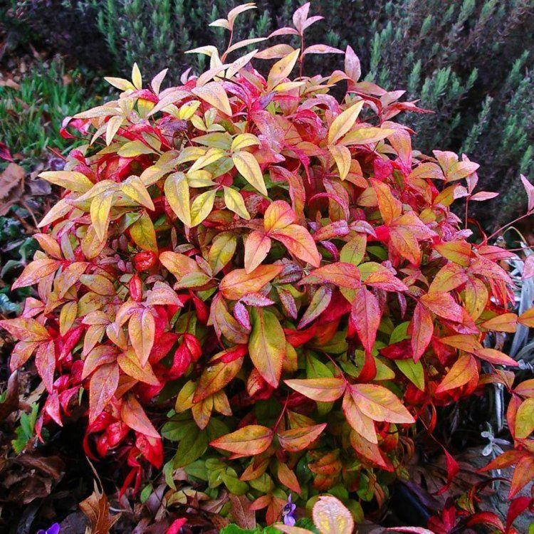 Nandina domestica Firepower - Sacred or Heavenly bamboo ... Nandina Domestica