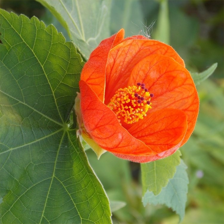 Abutilon Hybrida Orange Flowering Maple