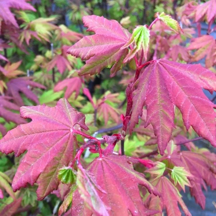 Acer Circinatum Burgundy Jewel Vine Leaved Maple