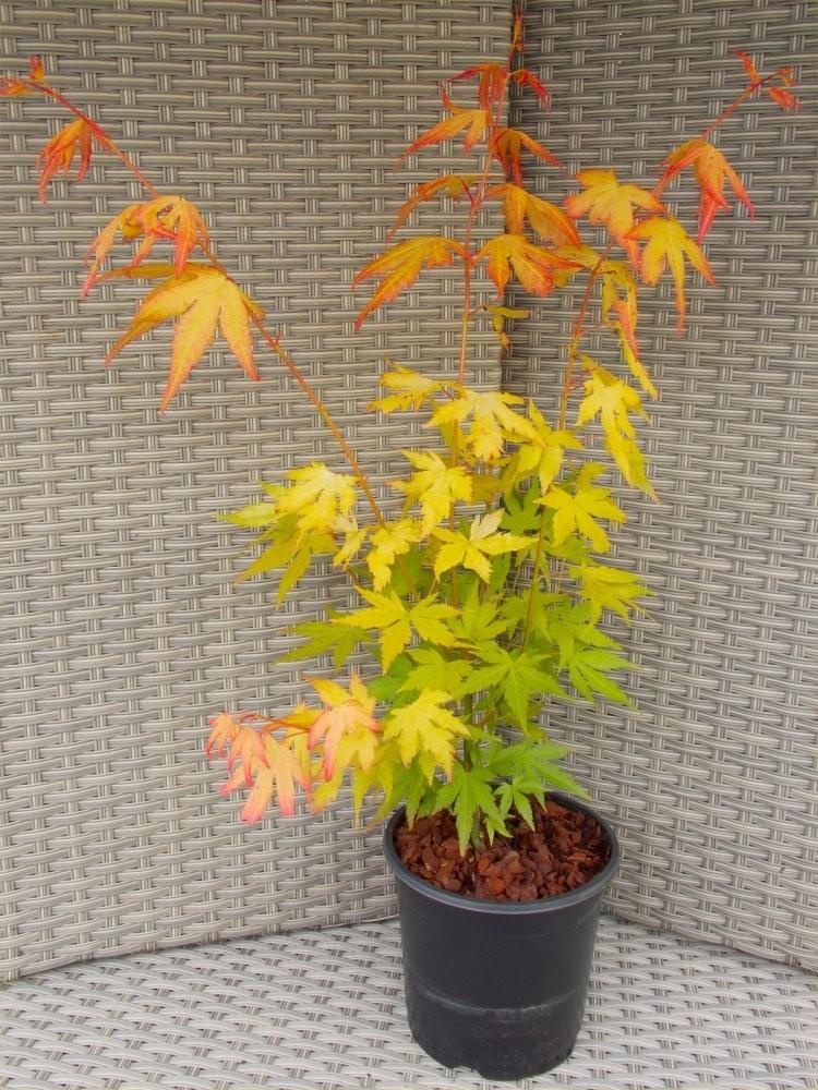 Acer Palmatum Orange Dream Special Japanese Maple